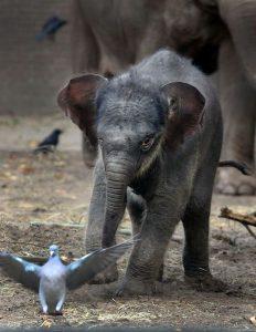 Aziatische olifant in oktober geboren. Foto ARTIS, Ronald van Weeren