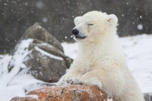 Ijsbeertje in de sneeuw (foto: Smithsonian Zoo)