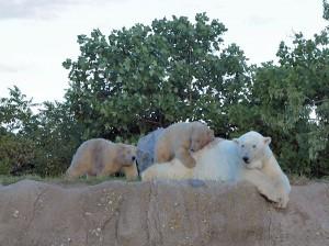 blijdorp ijsberen