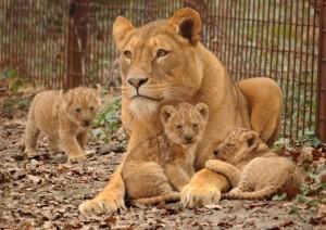 gaia zoo leeuwen