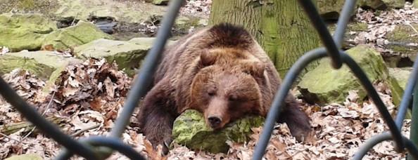 Tijdens het bezoek aan het Berenbos had een enkele beer de moeite genomen om zijn winterslaap te onderbreken en uit zijn ondergrondse hol te komen. Maar wakker worden lukte nog niet echt…