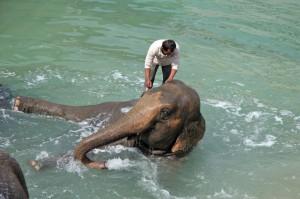 Het bad van de heilige olifanten in Pairi Daiza
