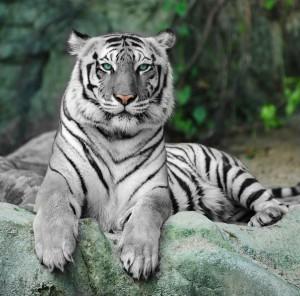 De tijgers maken nog voor de zomer hun opwachting bij ZooParc Overloon (foto: ZooParc Overloon/Libéma)