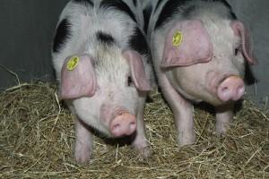 varkens (2)