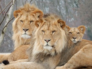 zooparc leeuwen2